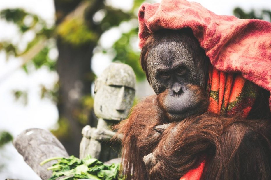 adult orangutan face and hand draped in red tartan cloth stone statue in the back ground green foliage