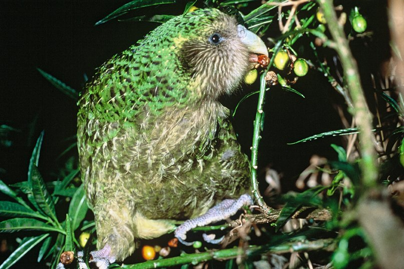 kakapo flightless parrot